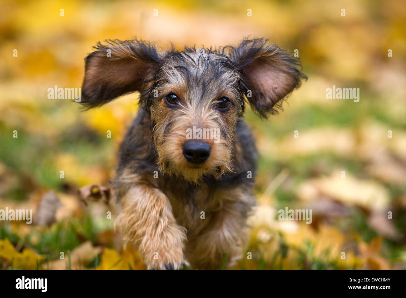 Wire-haired Miniature Dachshund running on autumn leaves - Stock Image