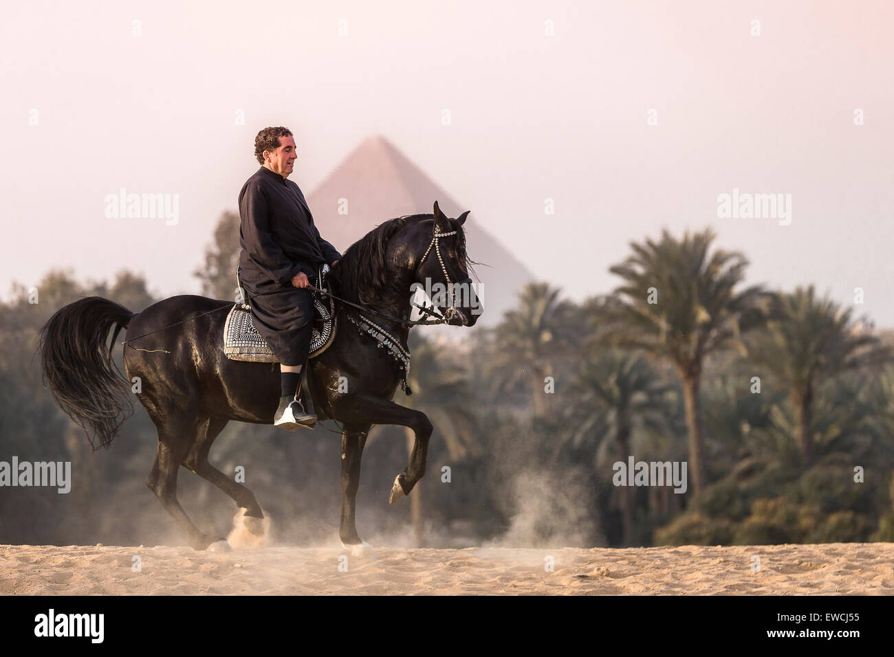 Arabian Horse. Man on bay stallion performing a Piaffe in front of the Pyramids of Giza in the desert. Egypt - Stock Image