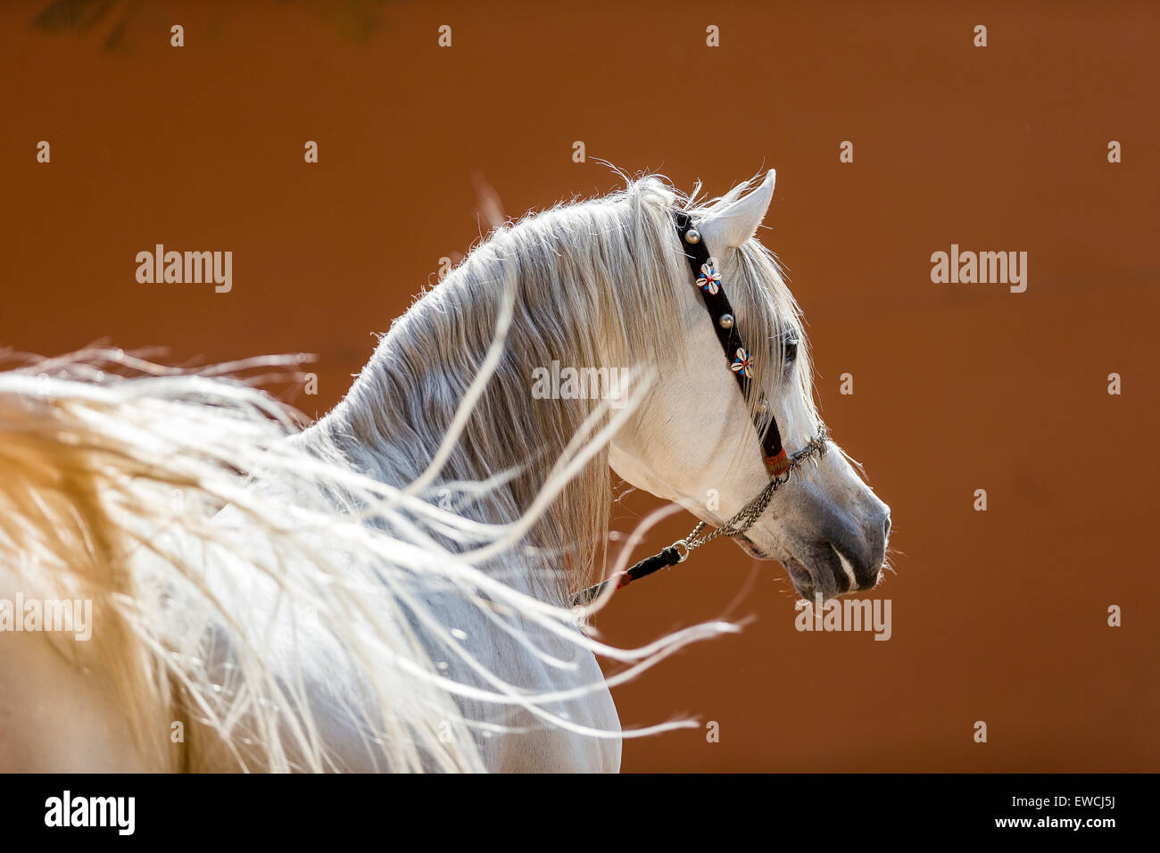 Arabian Horse. Portrait of gray stallion with its tail in foreground. Egypt Stock Photo