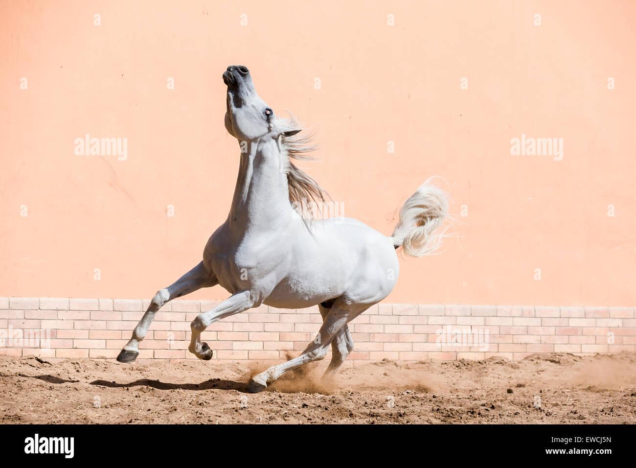 Arabian Horse. Gray stallion displaying in a paddock. Egypt - Stock Image