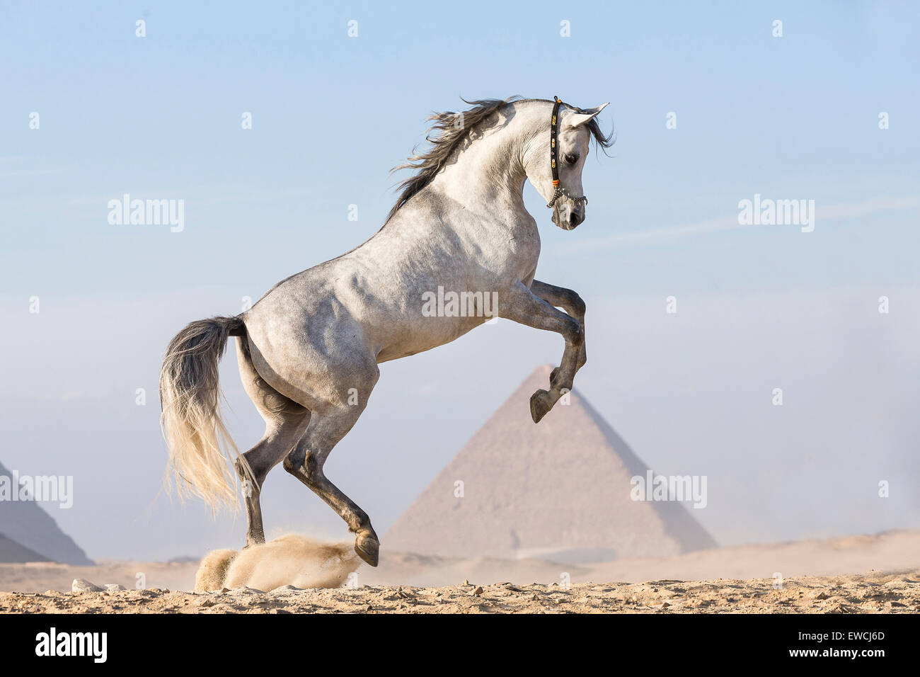 Arabian Horse Gray Stallion Rearing In Front Of The Pyramids Of Giza Stock Photo Alamy