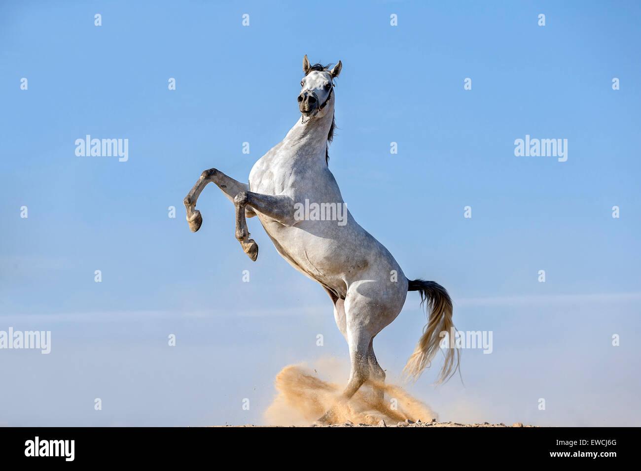 Arabian Horse Gray Stallion Rearing In The Desert Egypt Stock Photo Alamy