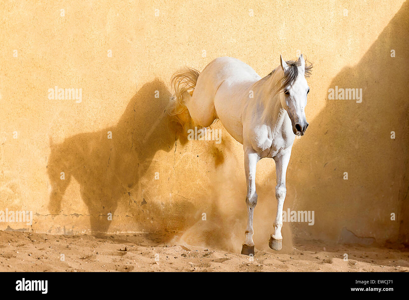 Arabian Horse. Gray stallion kicking in a paddock. Egypt - Stock Image