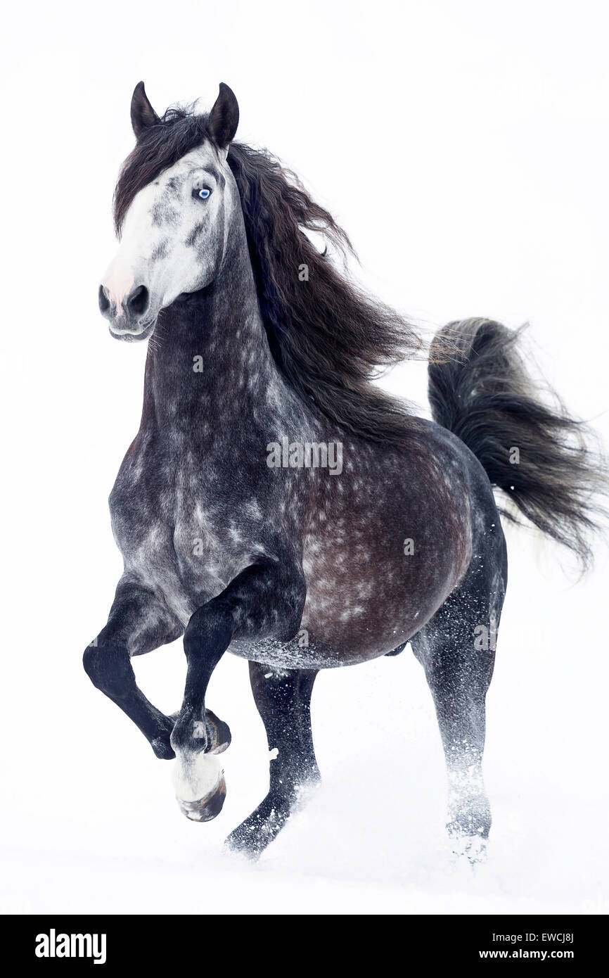 Pure Spanish Horse, Andalusian. Dapple gray stallion trotting on a snowy pasture. Germany - Stock Image