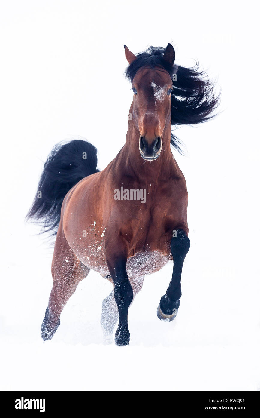 Pure Spanish Horse, Andalusian. Bay stallion galloping on a snowy pasture. Germany - Stock Image