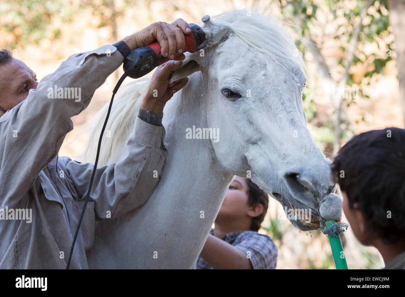 Arab Horse, Arabian Horse. Groom clipping a a gray horse. Egypt - Stock Image