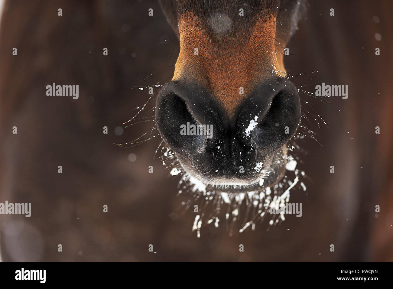 Domestic horse. Snow on the mout and nostrils of a bay horse. Germany - Stock Image