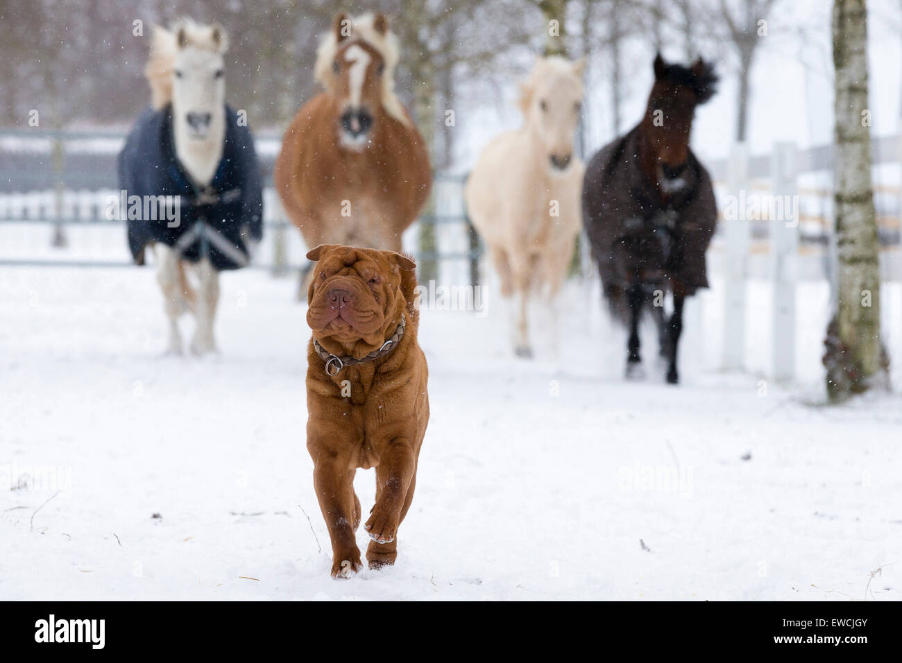 Four ponies following a Chinese Shar-Pei on a snowy pasture. Germany - Stock Image