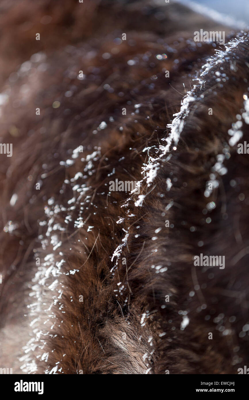 German Riding Pony. Hoarfrost on the winter coat of a bay horse. Germany - Stock Image