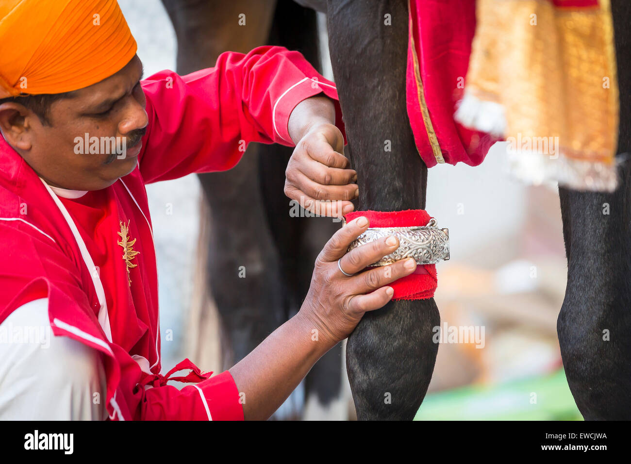 Groom fastening an silver bracelet on the front leg of an Marwari Horse. Participant in the Holi festival at the - Stock Image