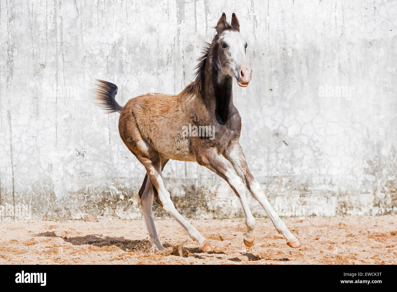 2019 year for girls- Horse Marwari foal pictures