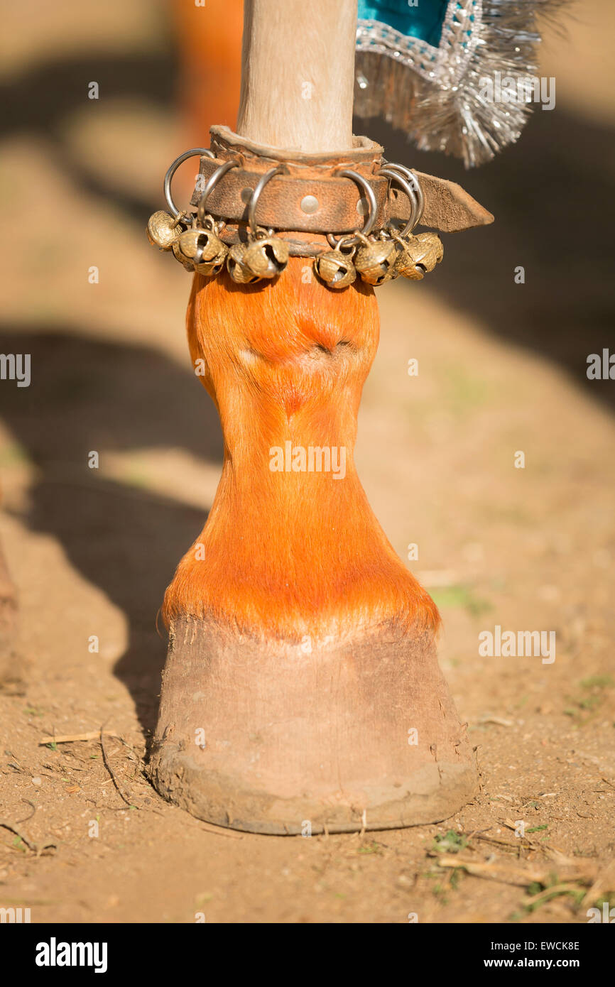 Marwari Horse. Small bells on the foot of a dancing horse. Rajasthan, India - Stock Image
