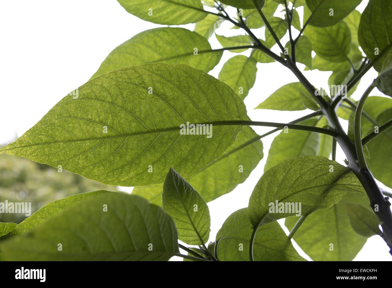 DEU, Germany, leaves of a Angel Trumpet (lat. Brugmansia). - Stock Image