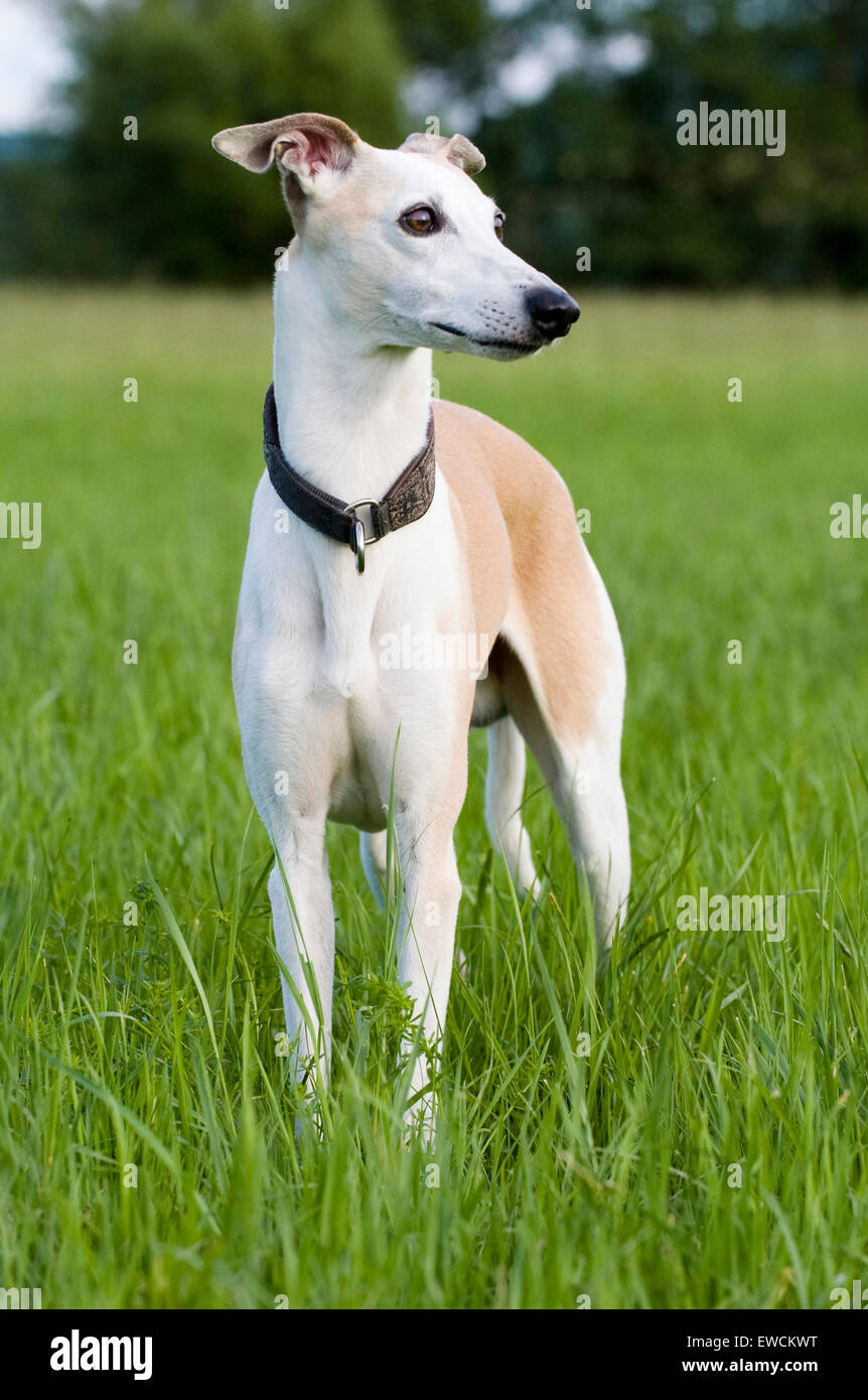 English Whippet. Adult standing on a lawn. Germany - Stock Image