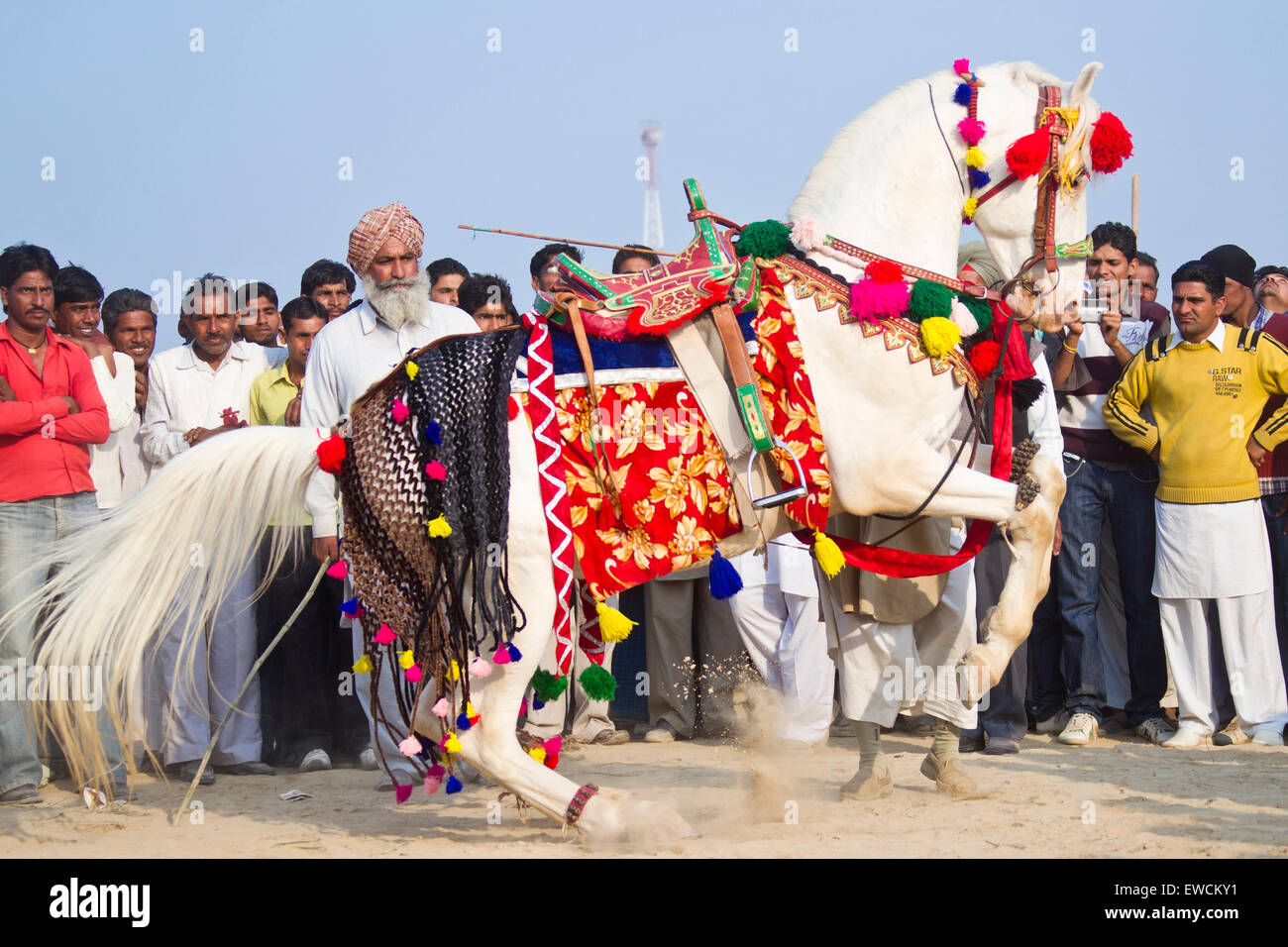 Marwari Horse. Grey stallion in beautiful harness performing the Levade. Traditional horse dance, India - Stock Image