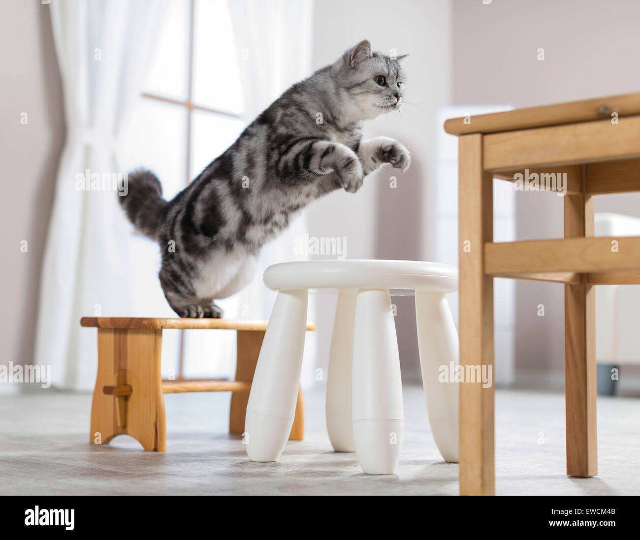 British Shorthair. Adult jumping from a footstool to a stool. Clicker training. Germany - Stock Image