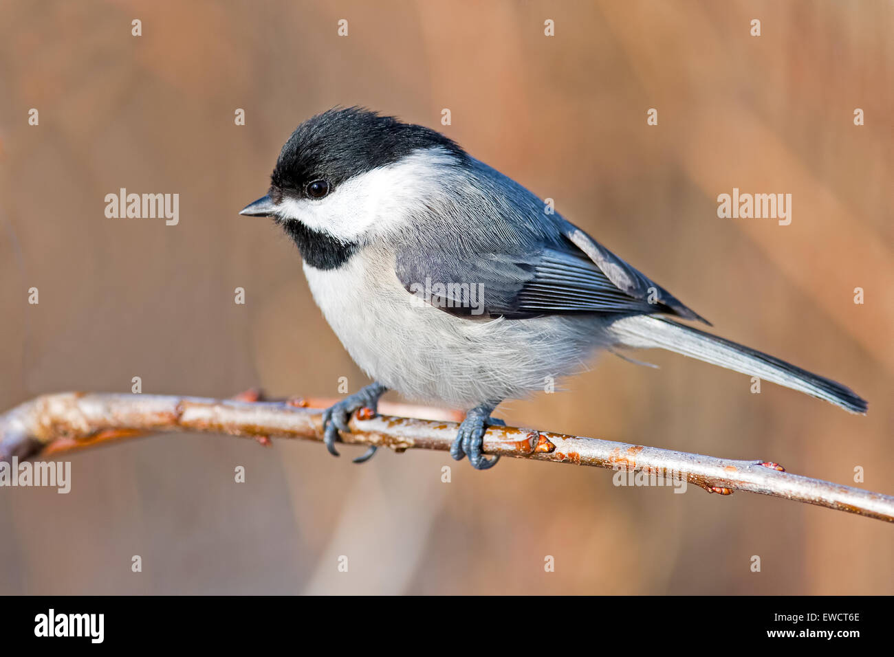 Carolina Chickadee sitting on Branch - Stock Image