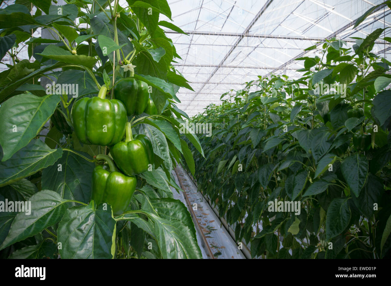 Cultivation Of Green Bell Peppers In A Commercial