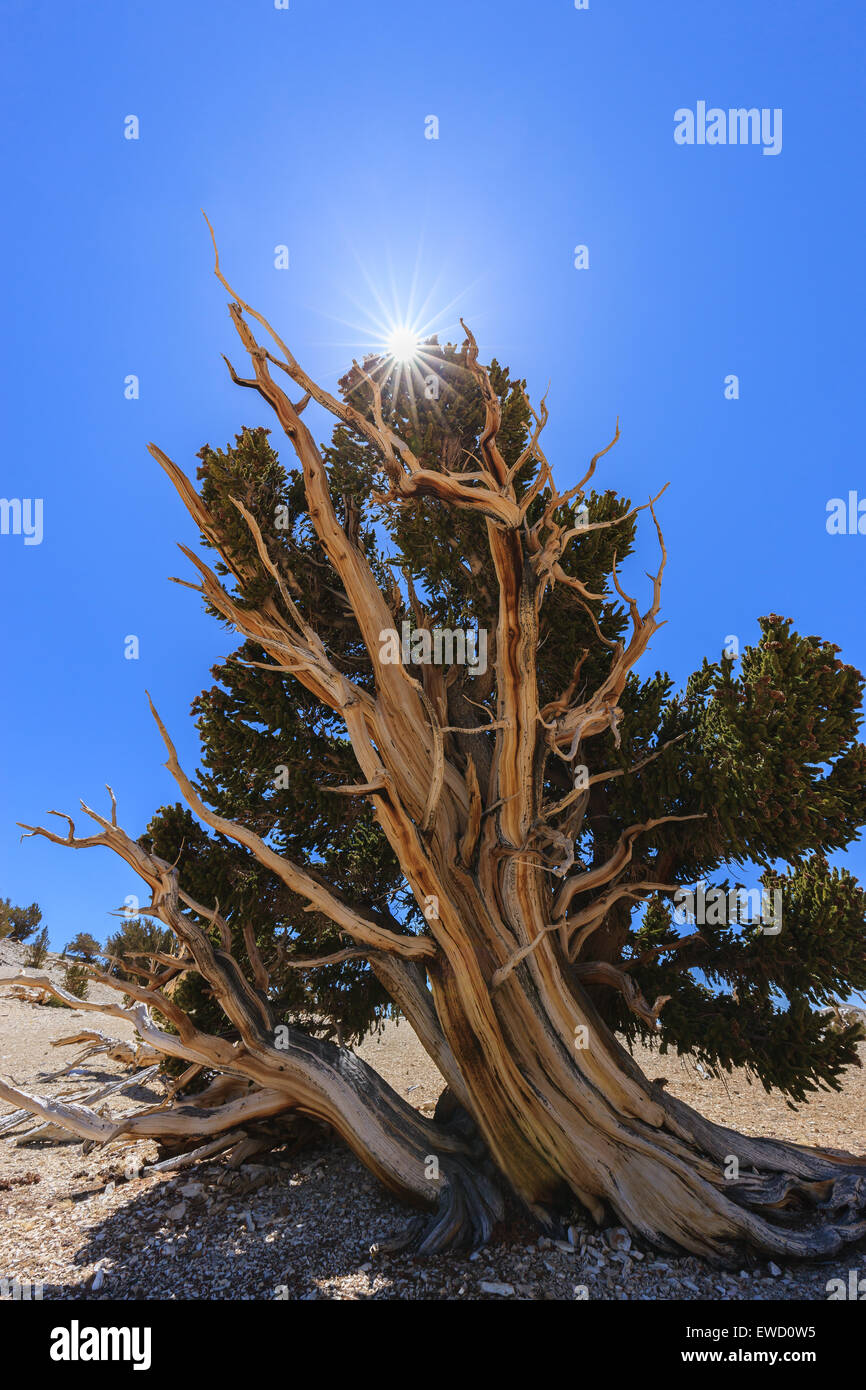 Bristlecone Pine Forest in the white mountains, eastern California, USA. The oldest living trees in the world. - Stock Image