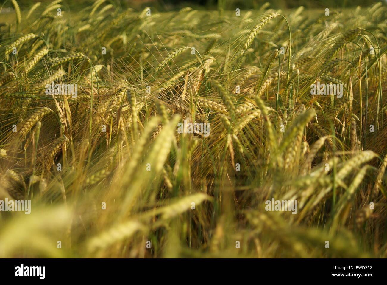 Closeup of a grain field - Stock Image