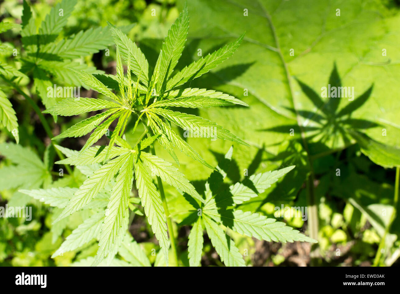 Drug culture stock photos drug culture stock images alamy agriculture background cannabis closeup culture dope drug farming ganja grass green grow hash hemp herb herbal izmirmasajfo