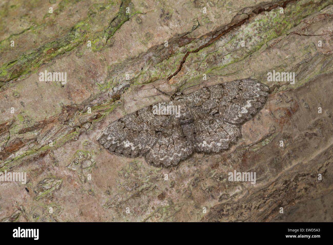 Pale Oak Beauty, Aschgrauer Baumspanner, Rindenspanner, Hypomecis punctinalis, Boarmia punctinalis, Boarmia consortaria - Stock Image