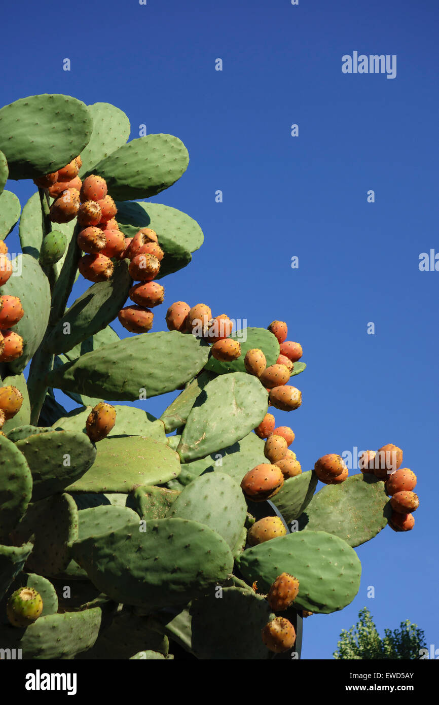 Opuntia ficus-indica fruits also known as the Prickly Pear fruit  Indian fig opuntia, barbary fig, cactus pear, Stock Photo