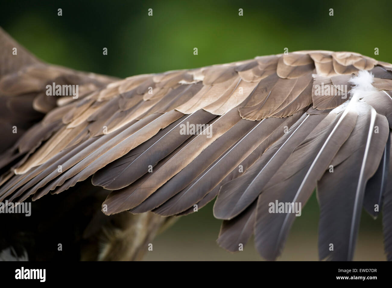 Wing feathers of a white tailed sea eagle Haliaeetus albicilla in close up on one extended wing - Stock Image