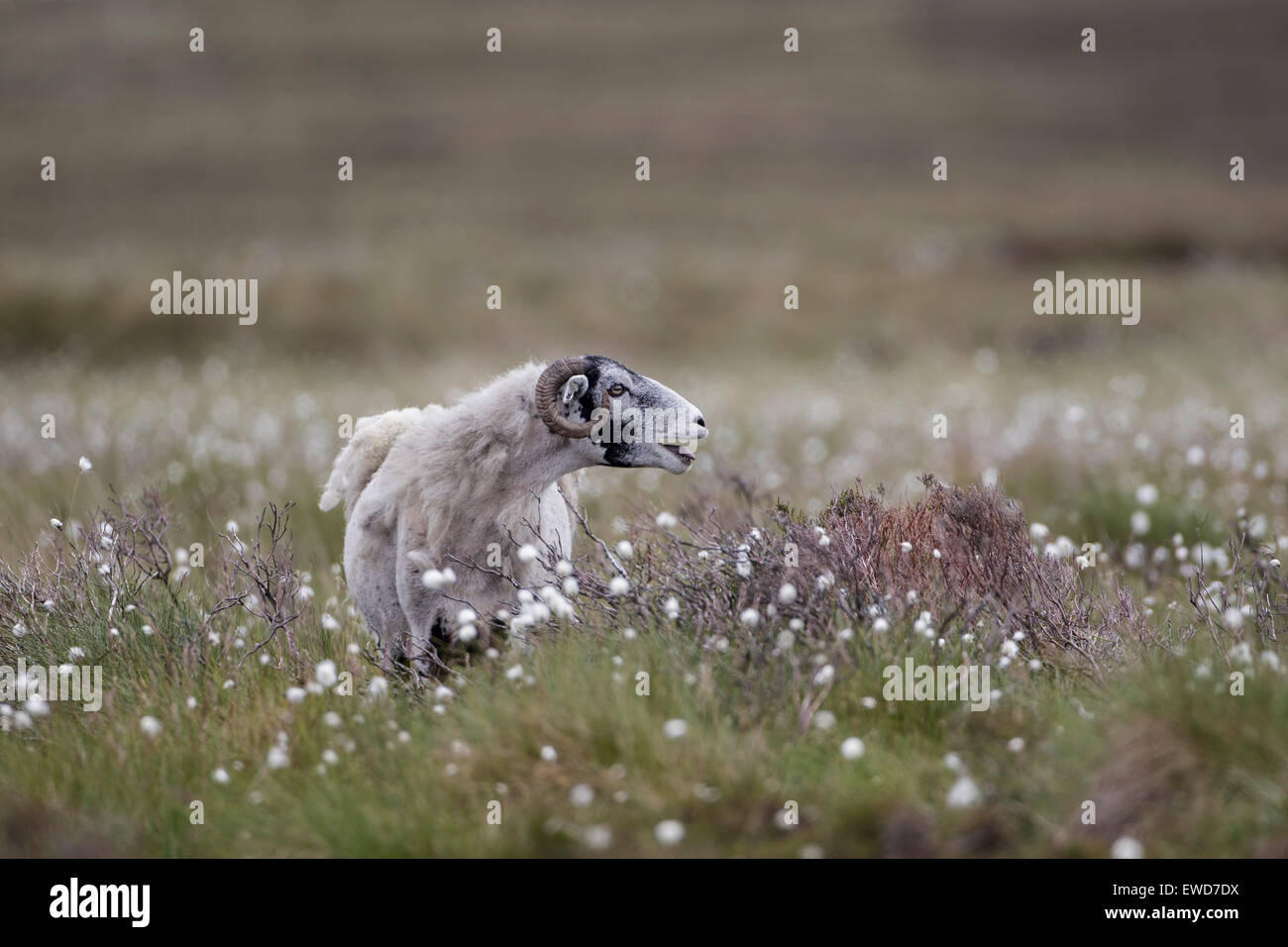 Ram Ovis Aries male sheep with horns bleating on rough moorland pasture amid cotton grass - Stock Image