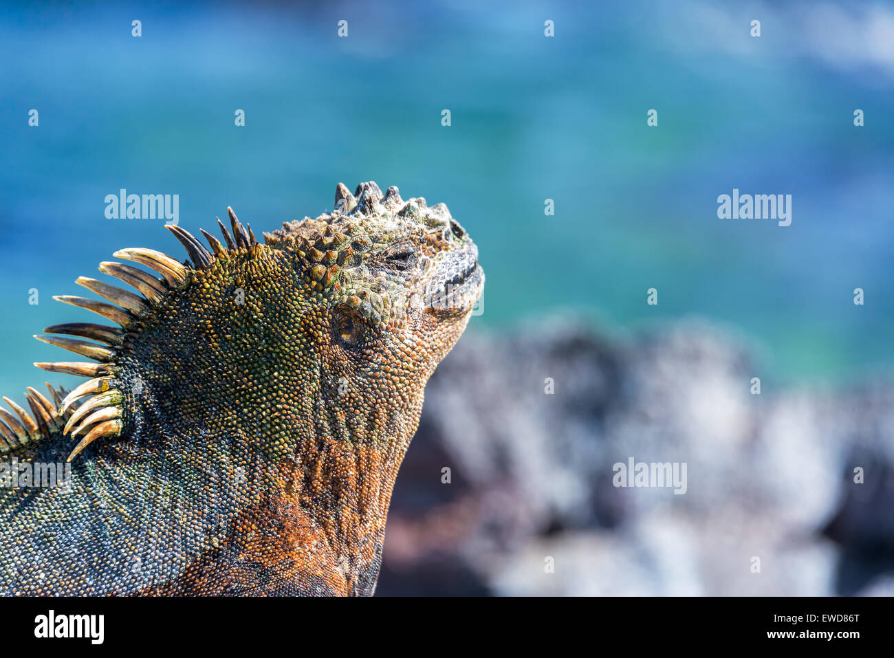 Face of a Marine Iguana relaxing in the sun with a blue background on Fernandinda Island in the Galapagos Islands - Stock Image