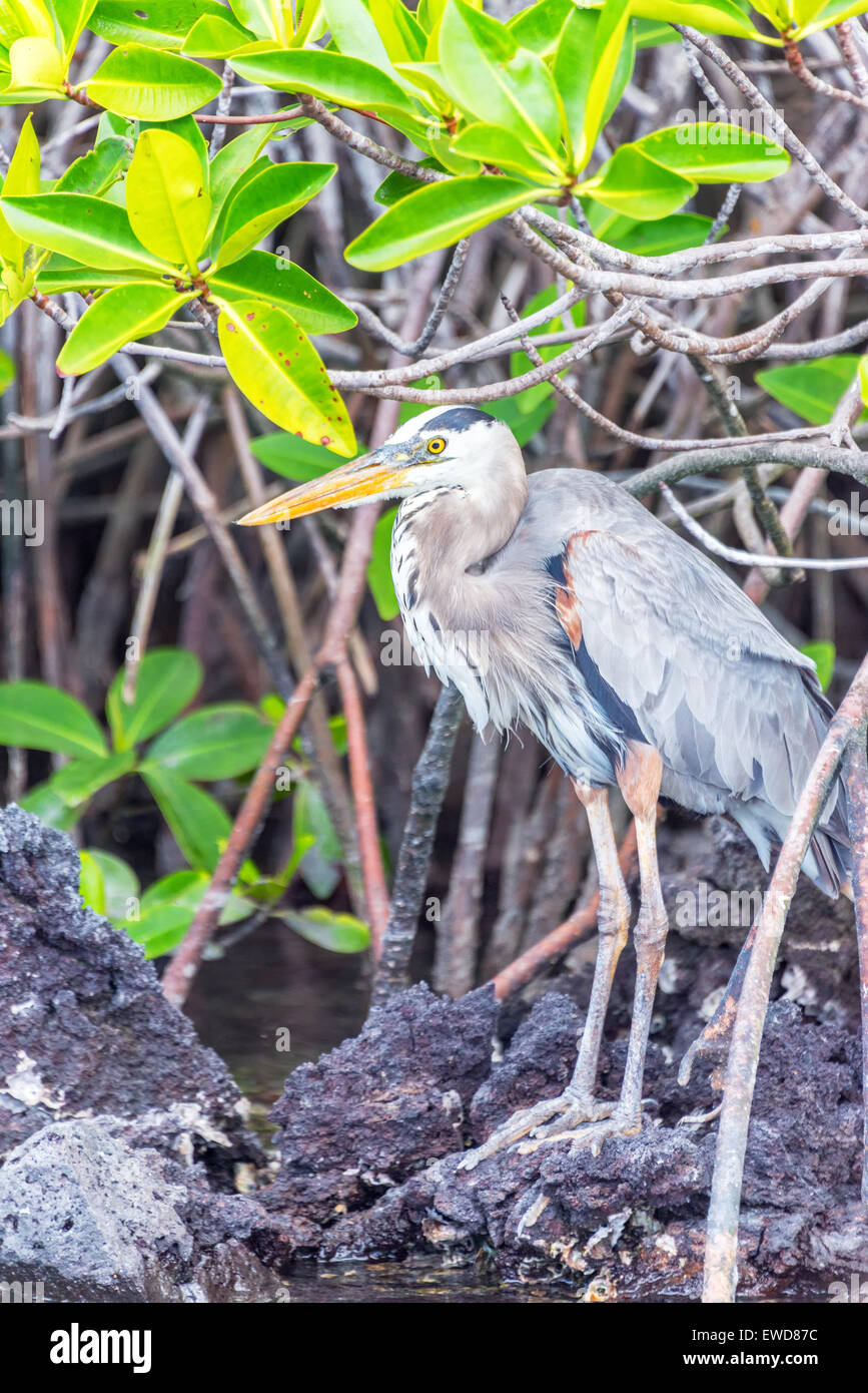 Vertical view of a Great Blue Heron on Isabela Island in the Galapagos Islands in Ecuador - Stock Image