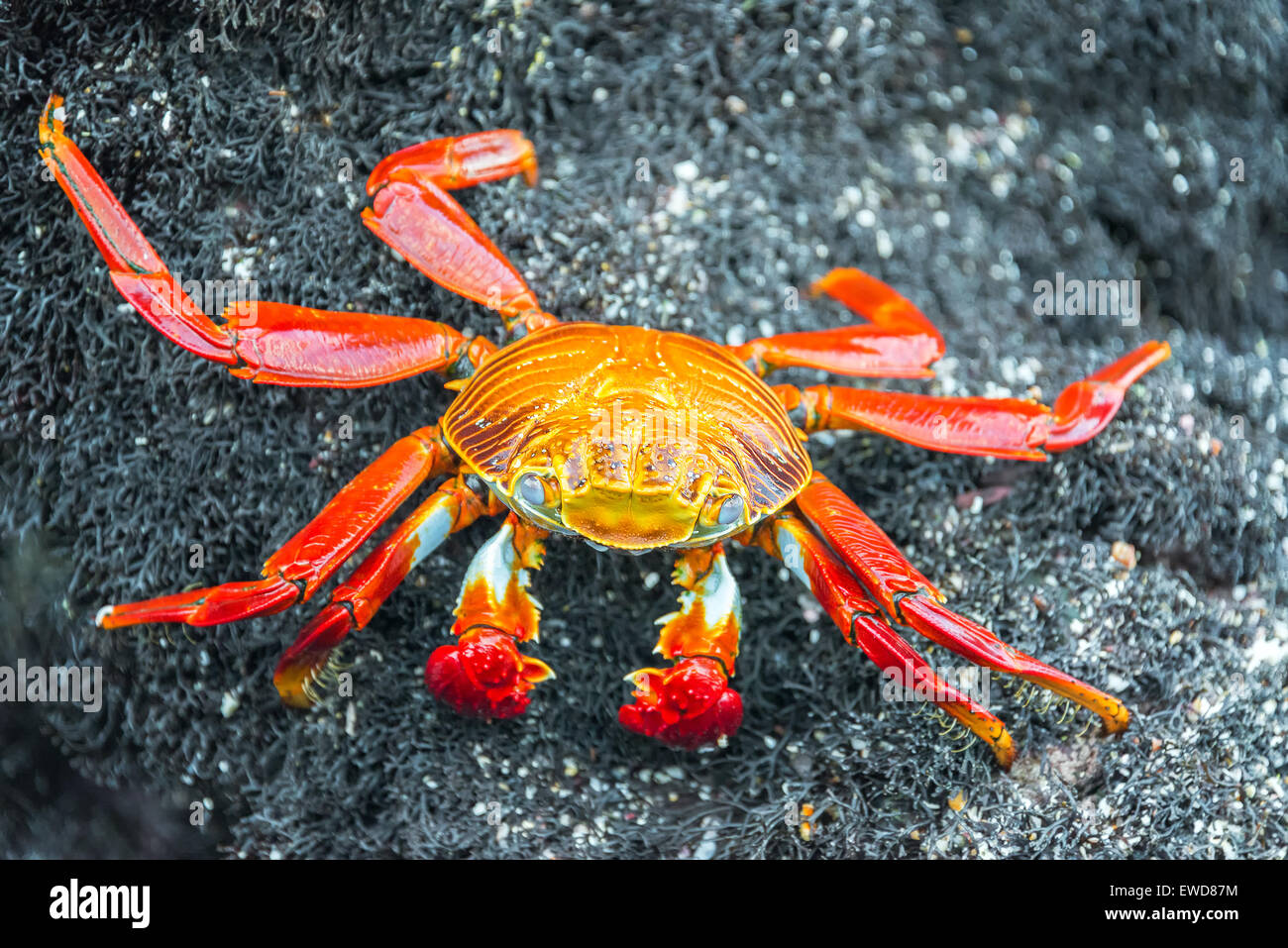 Closeup view of a Sally Lightfoot Crab on Isabela Island in the Galapagos Islands in Ecuador - Stock Image