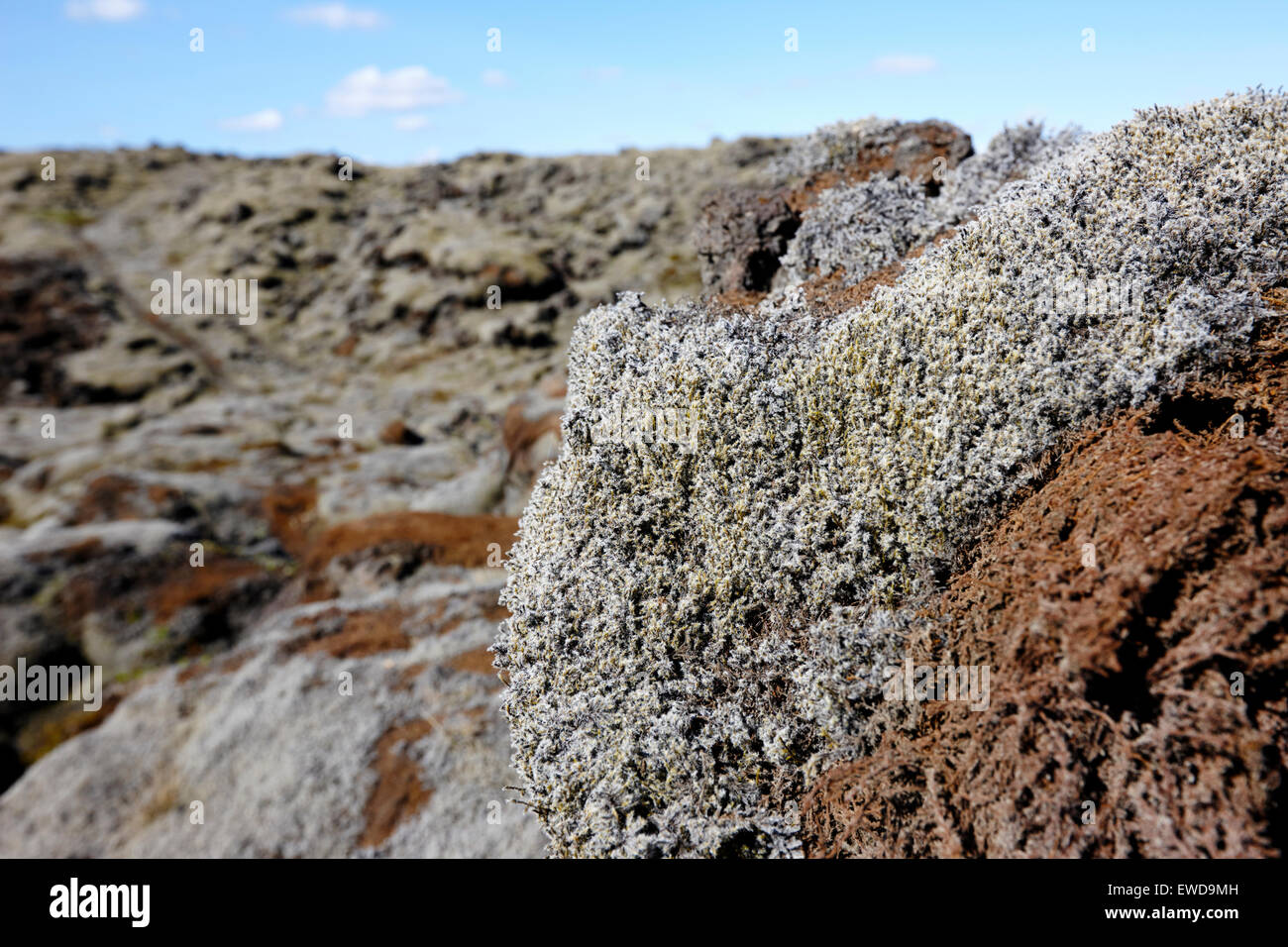 moss and moss damaged by people walking on it on southern lava fields Iceland - Stock Image