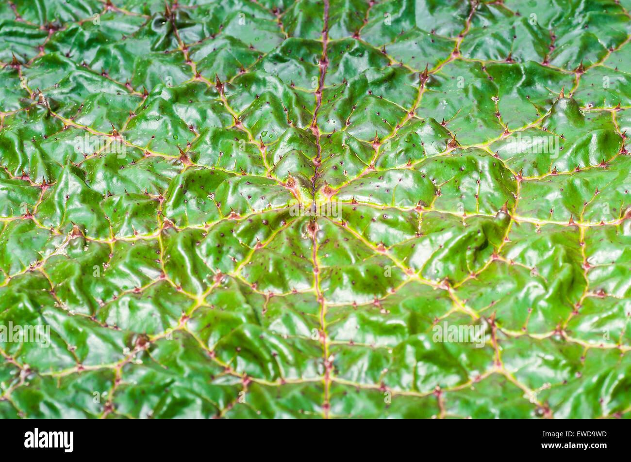 Nelumbo nucifera, lotus leaf. Taken on June 9, 2015 - Stock Image