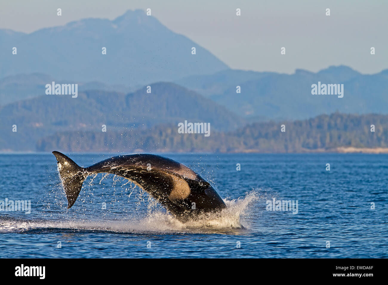 Transient killer whales (orca, Orcinus orca, T30's & T137's) after killing a sea lion off Malcolm Island - Stock Image