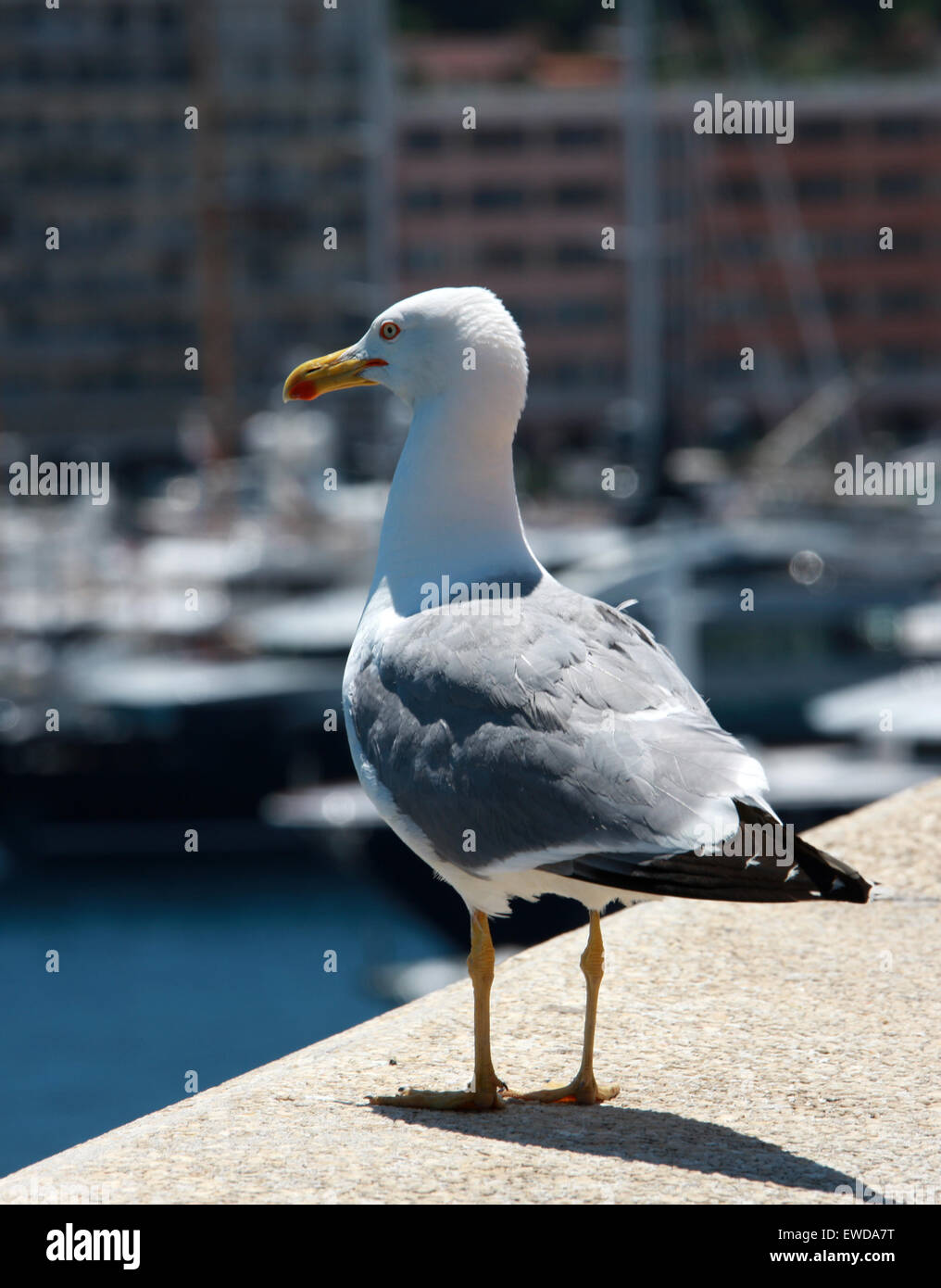 Herring Gull, Larus argentatus, Laridae. - Stock Image