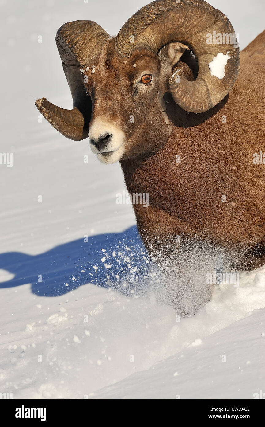 A vertical image of a rocky mountain bighorn ram running down a snow covered hill side - Stock Image