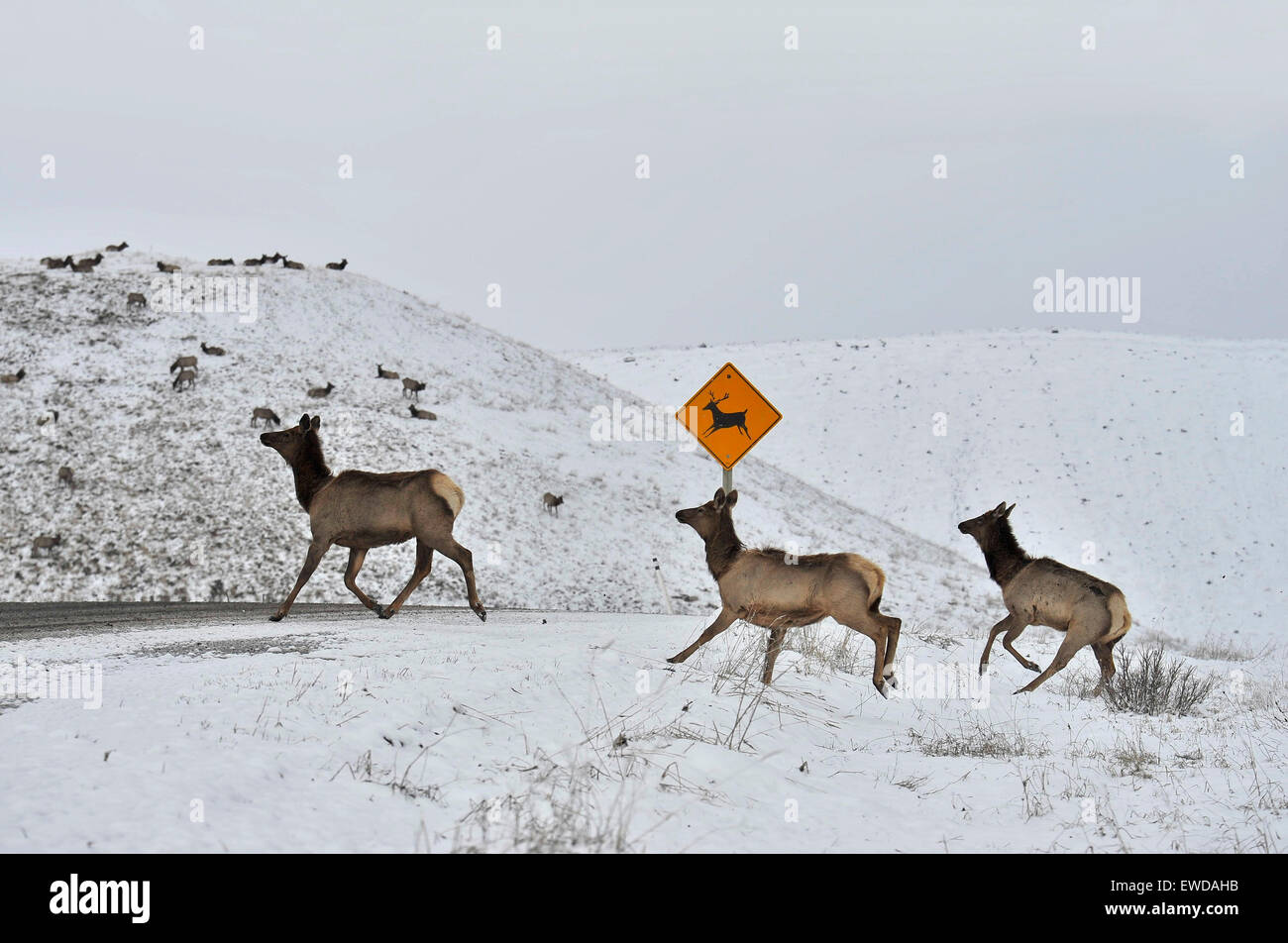 A herd of elk crossing the road at the animal crossing sign - Stock Image