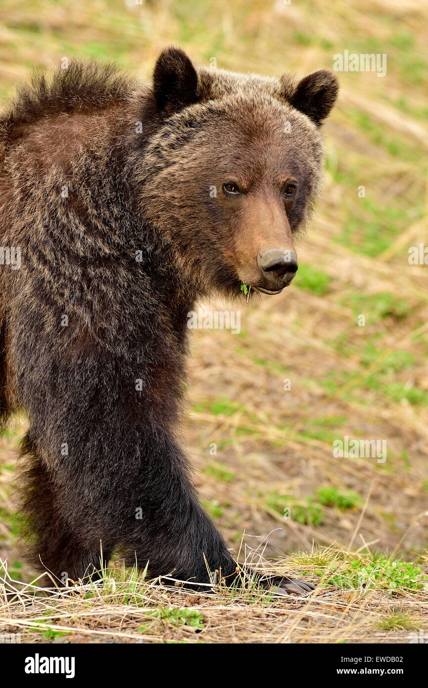 A close up image of an adult grizzly bear,  Ursus arctos, walking forward - Stock Image