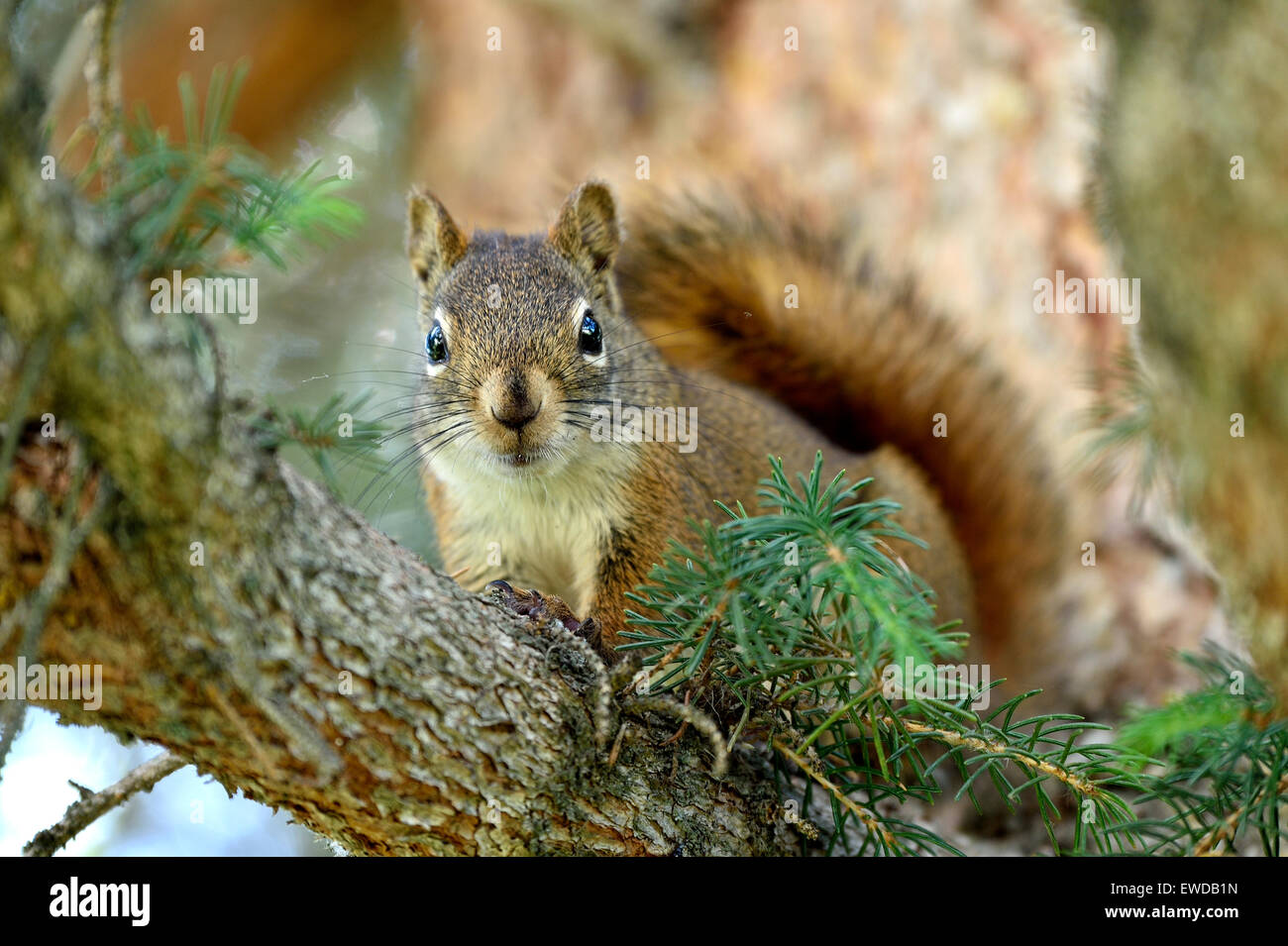 A wild Red Squirrel  Tamiasciurus hudsonicus, sitting on a tree branch making eye contact - Stock Image