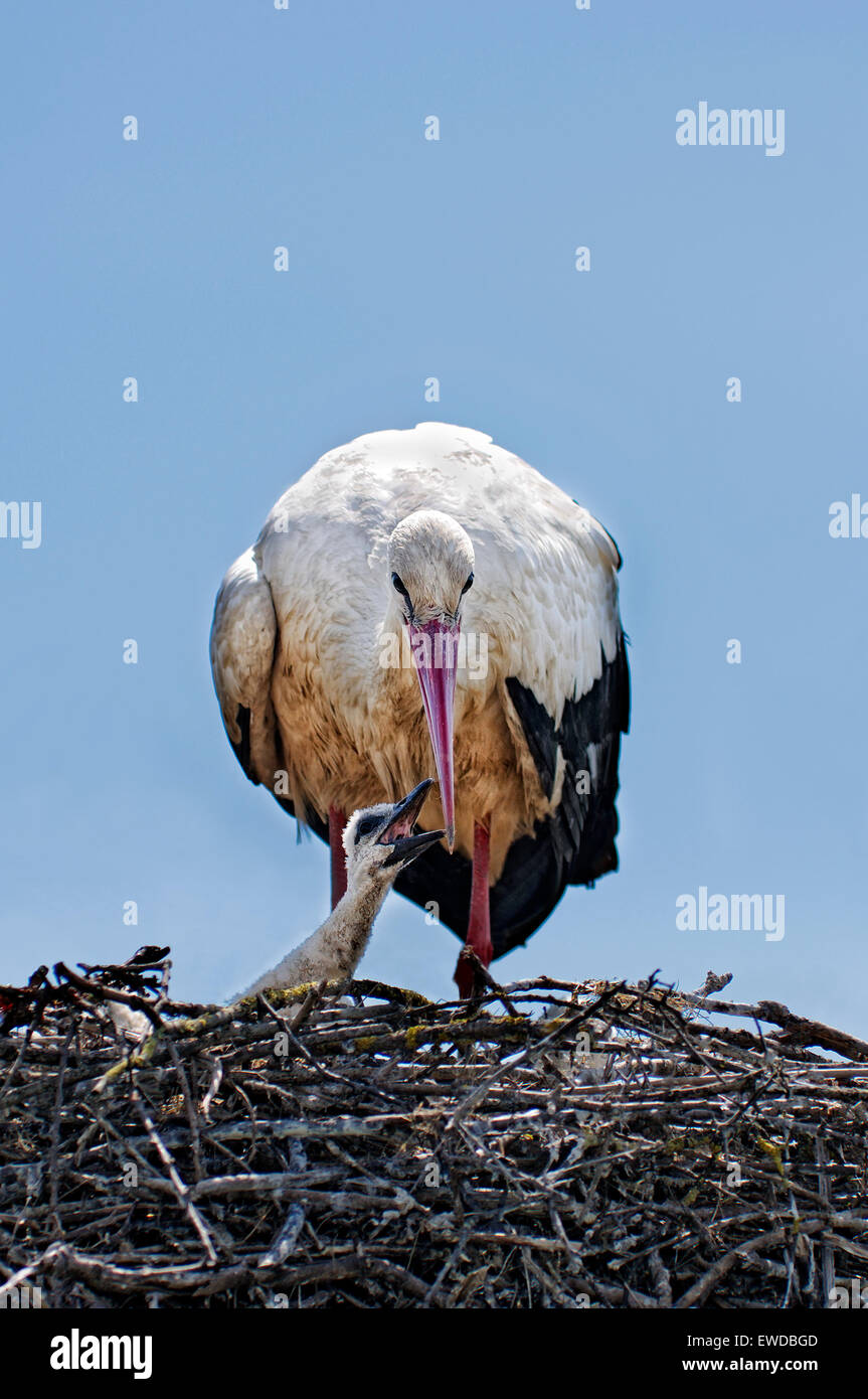 Vertical portrait of white stork, Ciconia ciconia, adult feeding the chick in the nest. Stock Photo