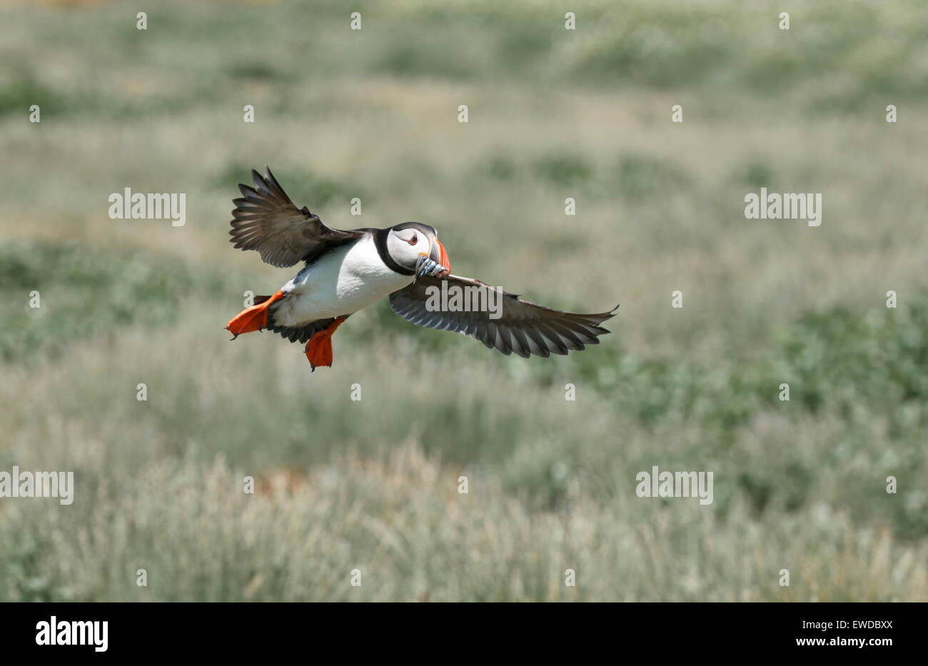 Puffin flying back over land to nest burrow with beak full of sandeels Stock Photo