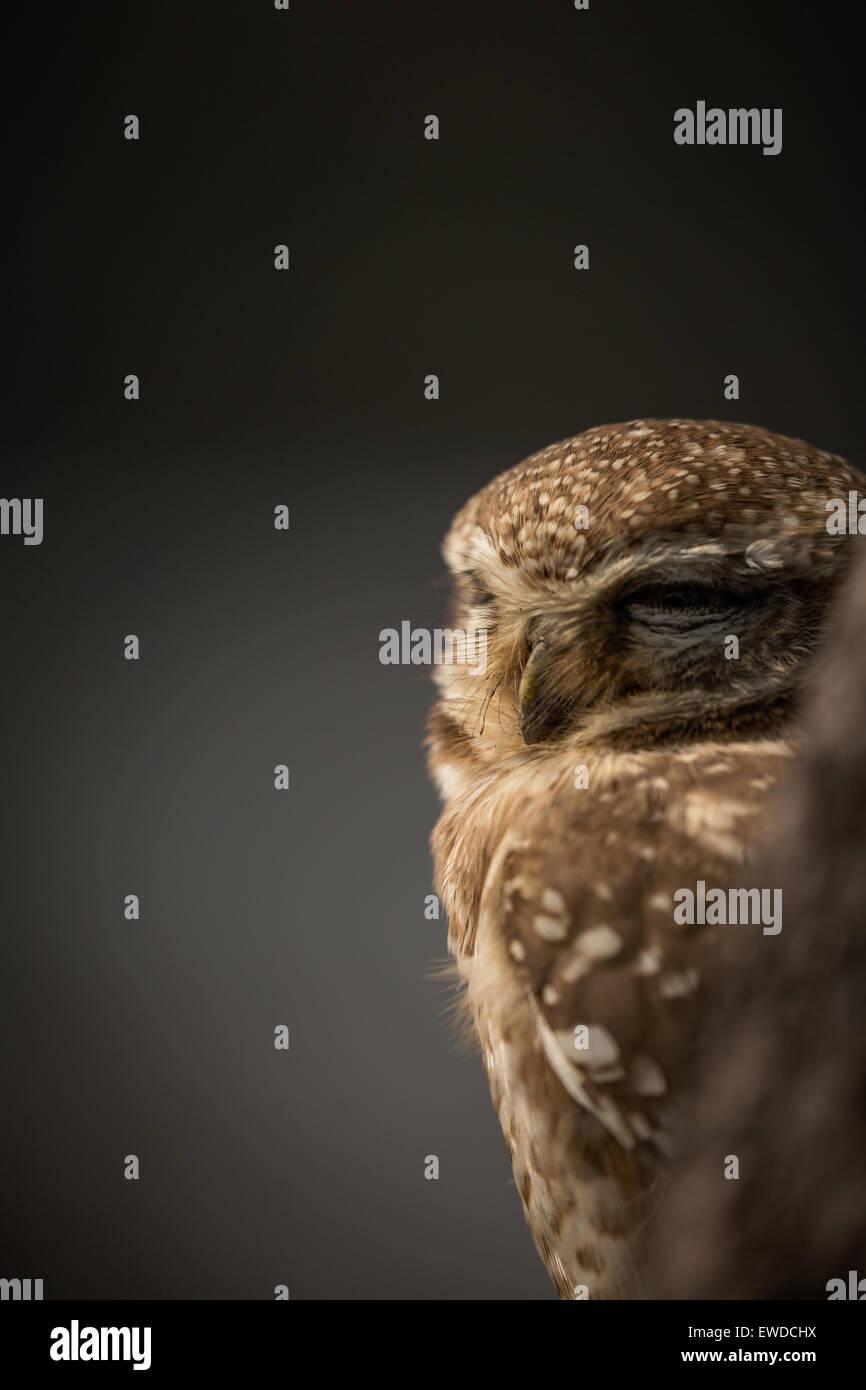 Owl close up - Stock Image