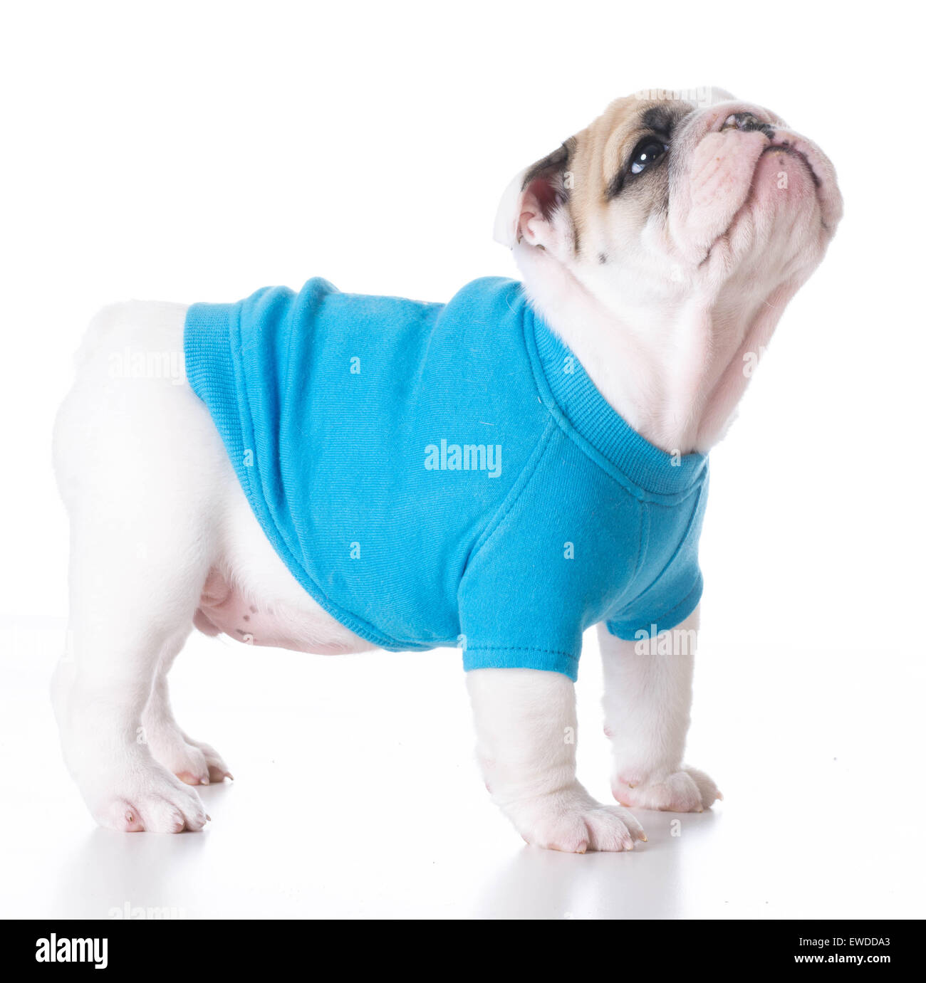 cute puppy - bulldog puppy wearing a blue sweater standing on white background 7 weeks old - Stock Image