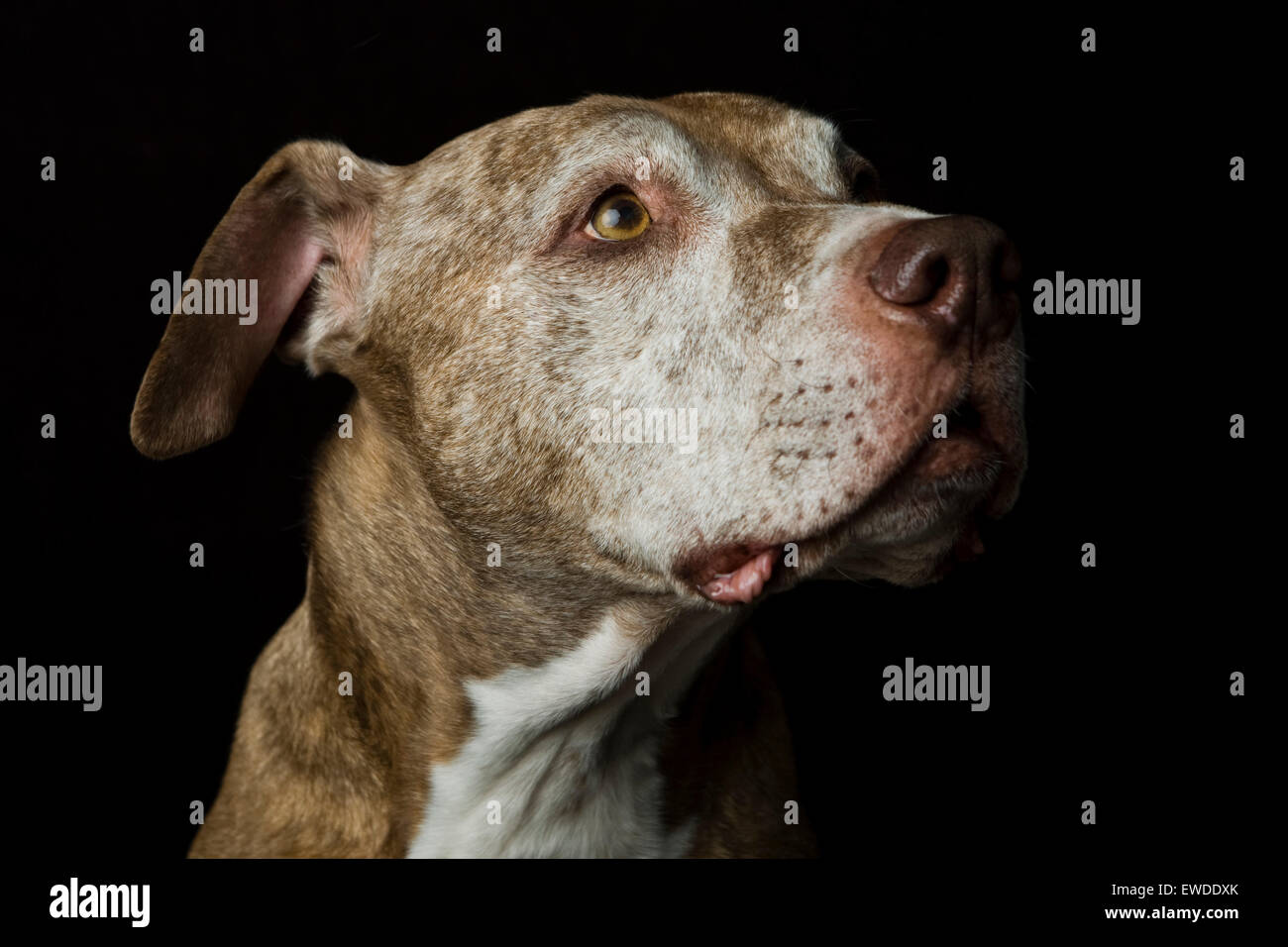 Profile headshot studio portrait of a wise senior Pitbull dog looking upward in anticipation against a black background - Stock Image