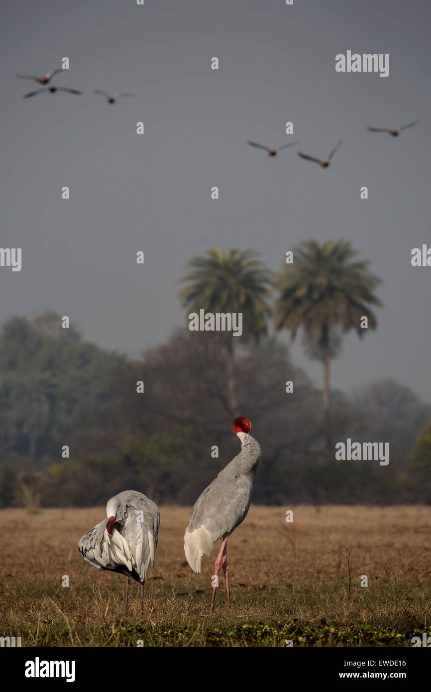 Sarus crane cleaning themselves - Stock Image