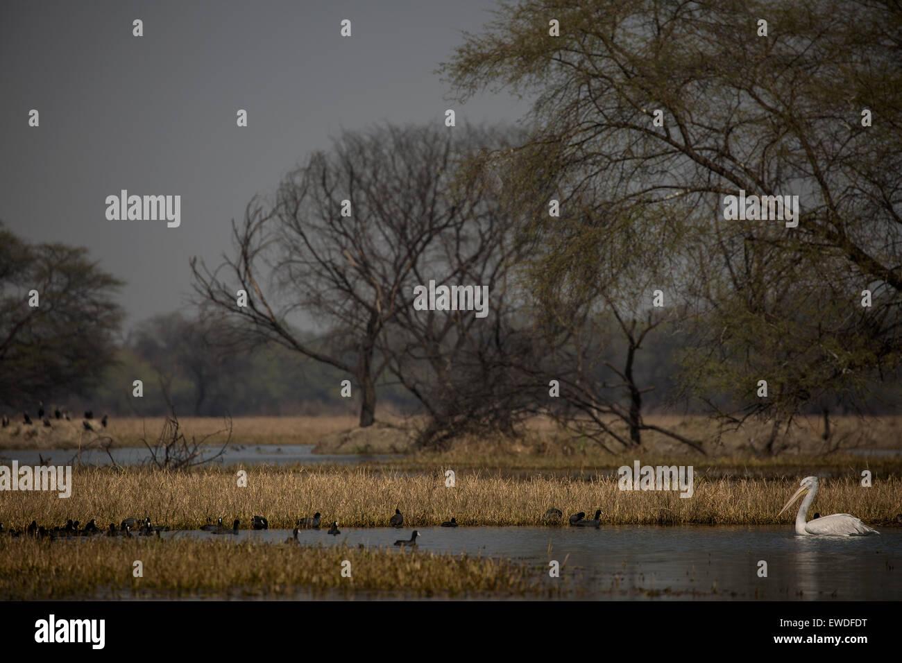 Pelican in water - Stock Image