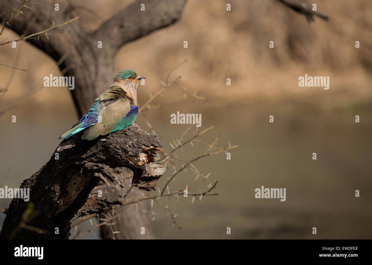 Indian Roller - Stock Image
