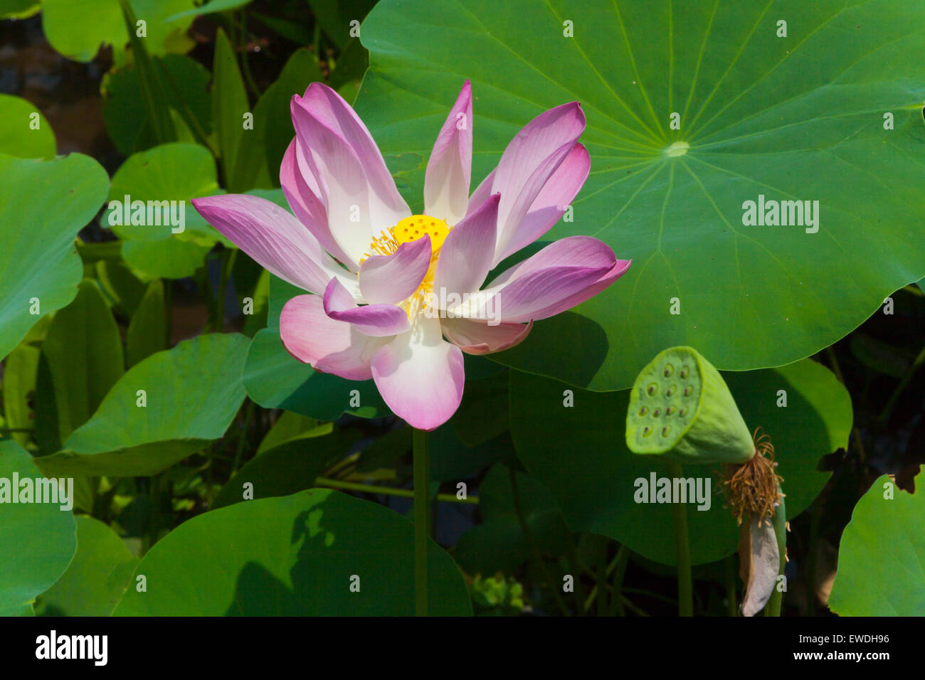 A Blooming Lotus Flower On Don Khon Island In The 4 Thousand Islands