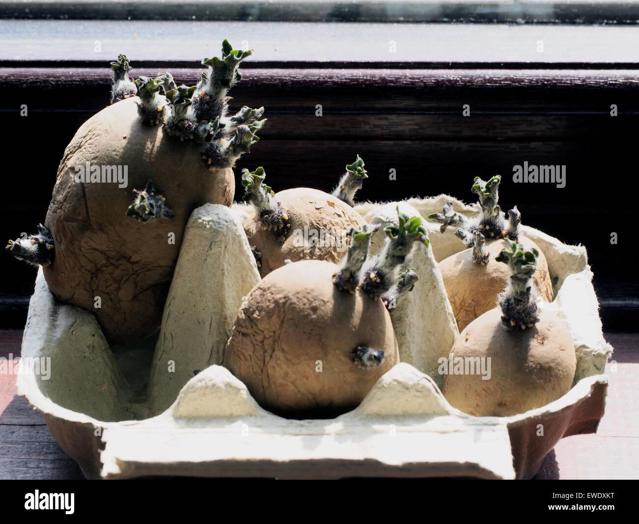 Chitting seed potatoes in windowsill egg box - Stock Image
